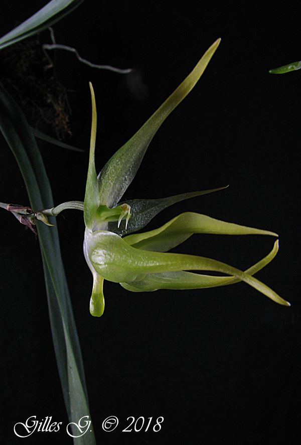 Aeranthes peyrotii